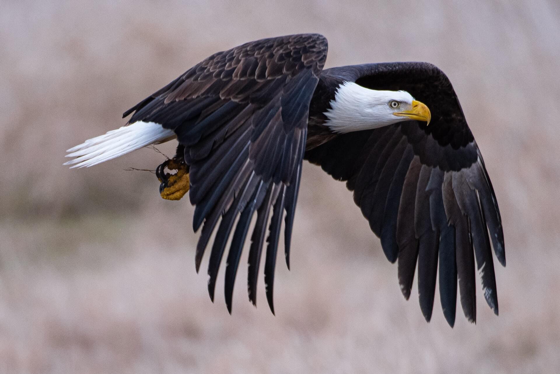 soar-like-eagle-start-something-huge-bald-eagle-in-flight